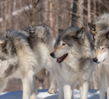 Timber wolves in winter Sticker