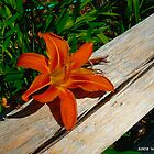 Daylily by BillK