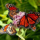 Butterflies Gather for a Meal by BillK