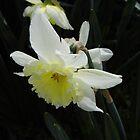 Daffodil by WildestArt