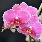 Pink Orchids Against Black by Kathleen Brant