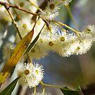 Flowering White Gum by Jennifer Craker