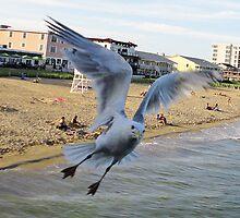 1 Gull Begging by AuntyReni