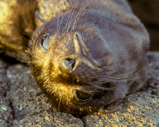 Galapagos Newborn Sea Lion by Dan Sweeney