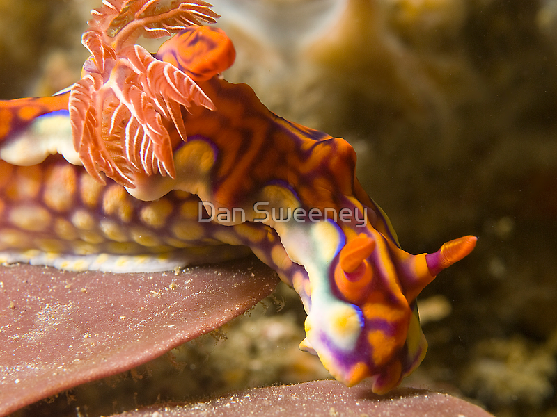 Miamira Magnifica Nudibranch by Dan Sweeney
