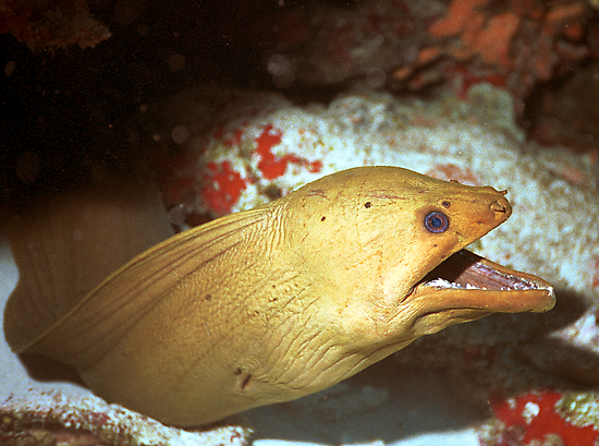 Green Moray by Dan Sweeney