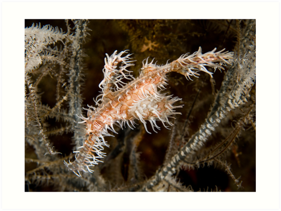 Ornate Ghost Pipefish by Dan Sweeney