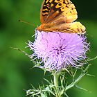 Fritillary Butterfly on a Thistle by Laurel Talabere