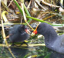 Moorhen and chick by Paul Todd