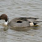 Drake Pintail by Jamie  Green