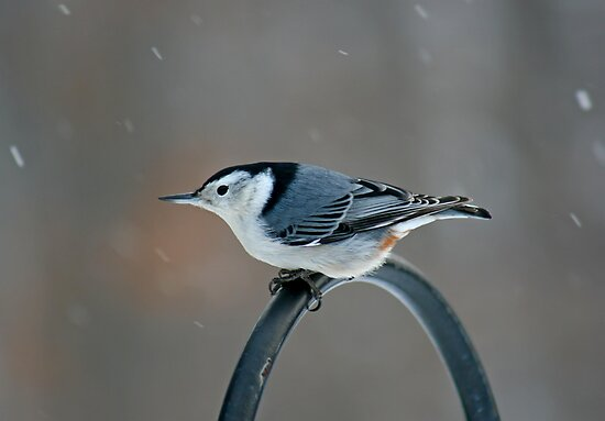 White- Breasted Nuthatch by Vickie Emms