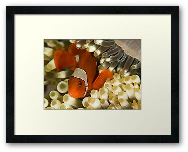 Clown Fish in Anemone by Dan Sweeney