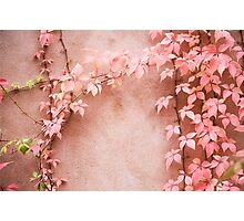 Wall abstract old ivy leaves Photographic Print