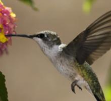 hummingbird Sticker