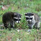 Two Little Raccoons by Karen Kaleta