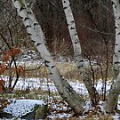 Winter Birches by Anne Smyth