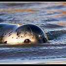Grey seal pup making waves by Shaun Whiteman