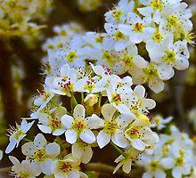 Bradford Blossoms by Lisa Taylor