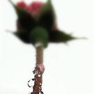 Rose drops by Tamara Brandy