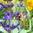 Bumble bee on Salvia by alfiesaidso