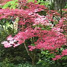 Would you believe . . . a pink maple?! by Pat Yager