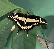 Giant Swallowtail by John Absher