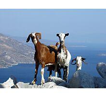 Happy Goats Photographic Print