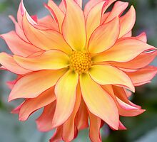 Ray of Sunshine Dahlia by Godisgr8t2me