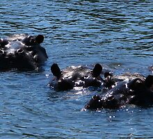 Hippos, Chobe River, Chobe National Park, Botswana by vadim19