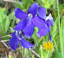 Nuttall's Larkspur- delphinium bicolor by Vickie Emms