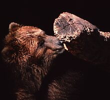 Kodiak Bear Nuzzling a Log by Jay Gross