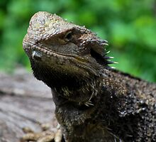 Bearded Dragon by Steven Ungermann