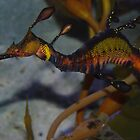 Common Sea Dragon by Steven Ungermann