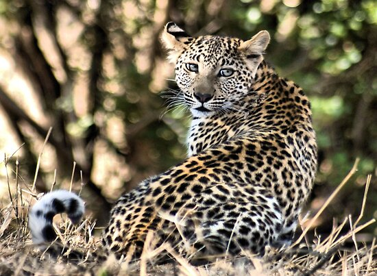 THE LEOPARD - Panthera pardus - Luiperd by Magaret Meintjes