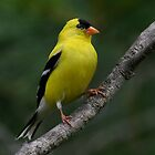 Male Yellow Finch by Jim Davis