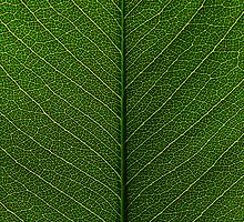 leaf by Stephen Beyer