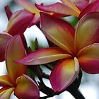 Colourful Frangipani by Michelle *