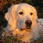 Golden Retriever Ditte enjoys the setting sun by Trine