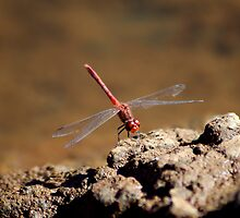 Dragonfly by assh0le