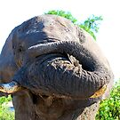 Elephant with trunk rolled up by Kevin Jeffery
