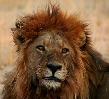 Male Lion by Kevin Jeffery