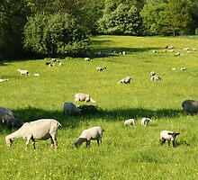 Sheep in a Field by Duncan Payne