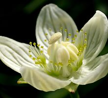 Grass-of-Parnassus by Roger Butterfield