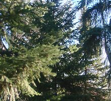 Coniferous Evergreen by tkrosevear