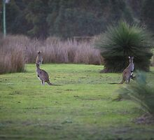 Kangaroos at Dusk by Sam Ward