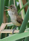Australian Reed Warbler by Alwyn Simple