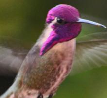 HUMMINGBIRD COSTA IN FLIGHT Sticker