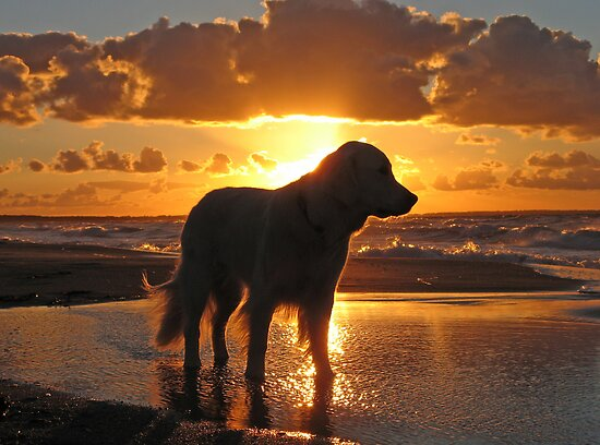 My Golden Retriever Ditte on the beach at sunset by Trine