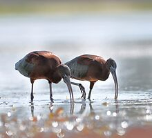 Glossy ibis at Lake Albert by Moorey