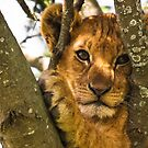 Lion Cub by Nickolay Stanev
